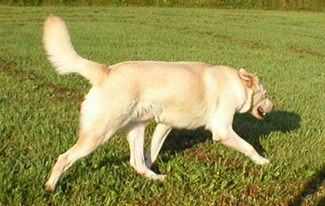 light honey colored dog trotting to the right