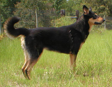 black dog with tan marking, standing and looking to the right