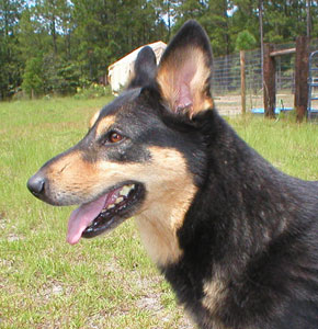 Head shot of a black dog with tan markings on her face, facing the left